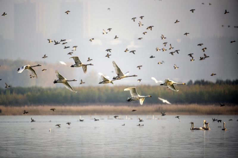 亚博体育平陆:越冬白天鹅舞动金秋黄河湿地